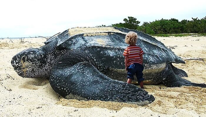 tortugas marinas gigantes