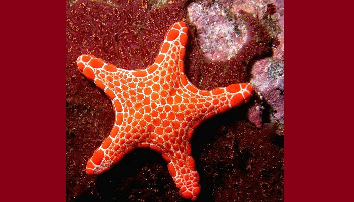 Estrella de mar hermafrodita