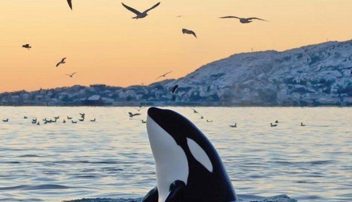 ballenas asesinas u orcas