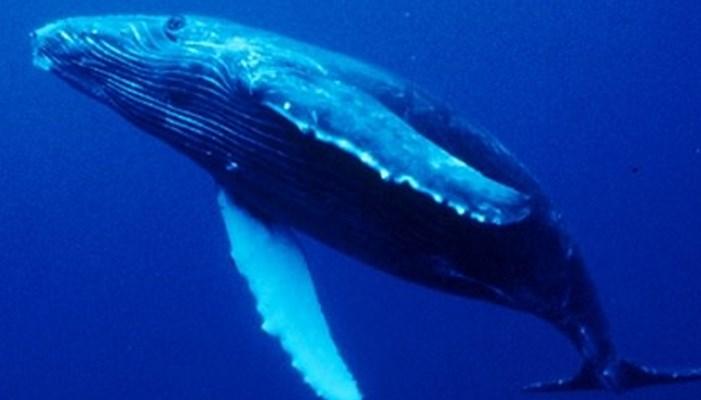 Tiempo de vida de las ballenas