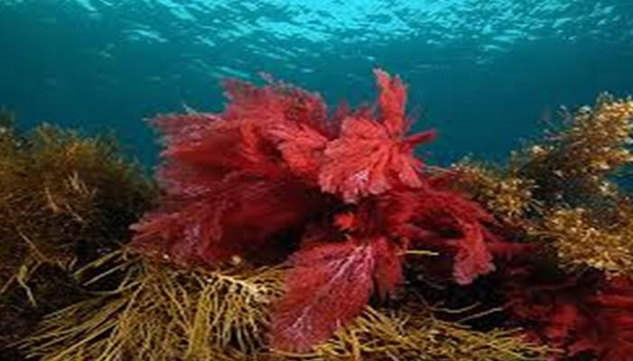 Las algas rojas