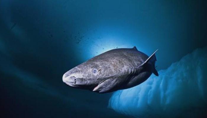 Tiburón boreal