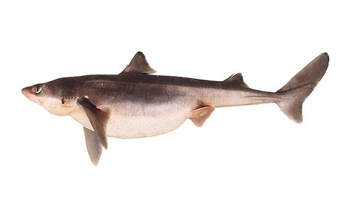 Tiburón espinoso