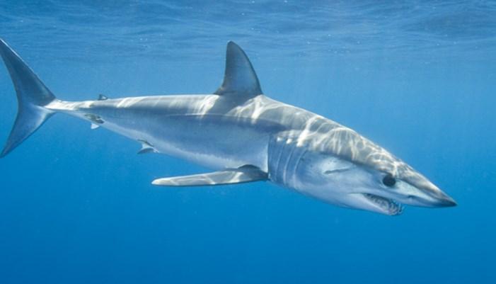 tiburon tintorera mediterraneo