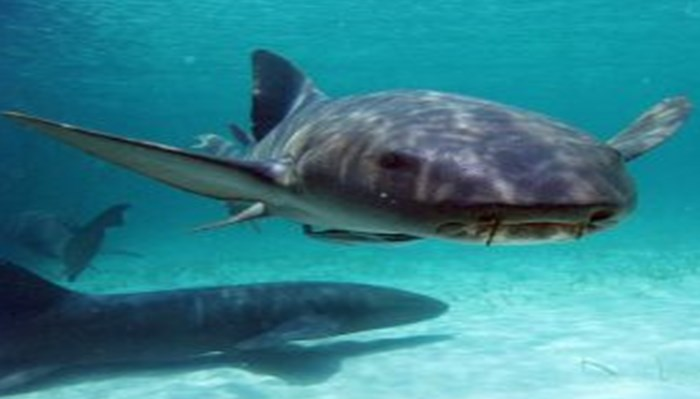 Cuerpo del tiburon gato