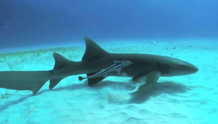 Color del tiburon gato