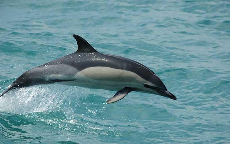 delfín común oceánico o de aleta corta.