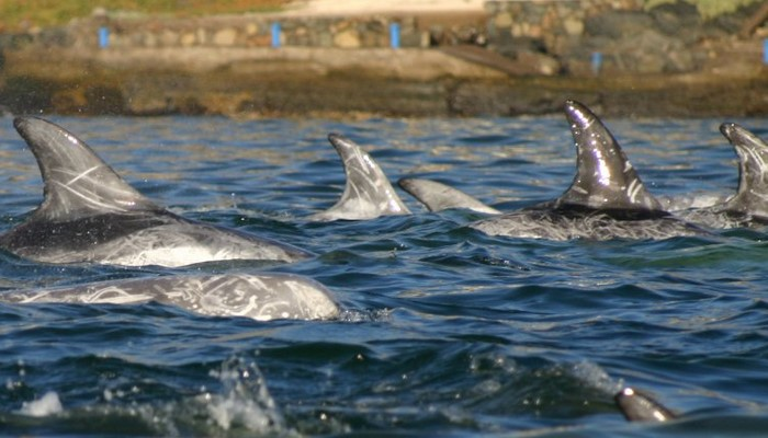 delfines risso
