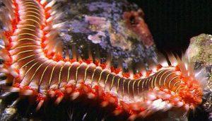 los gusanos de mar