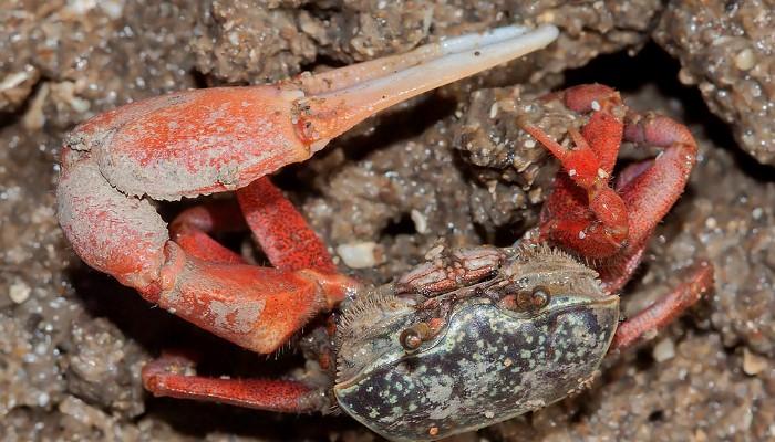 los cangrejos, el violinista