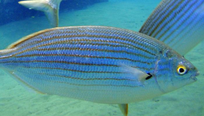 pez salema, rareza oceánica