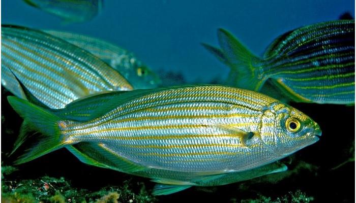 pez salema o salpa