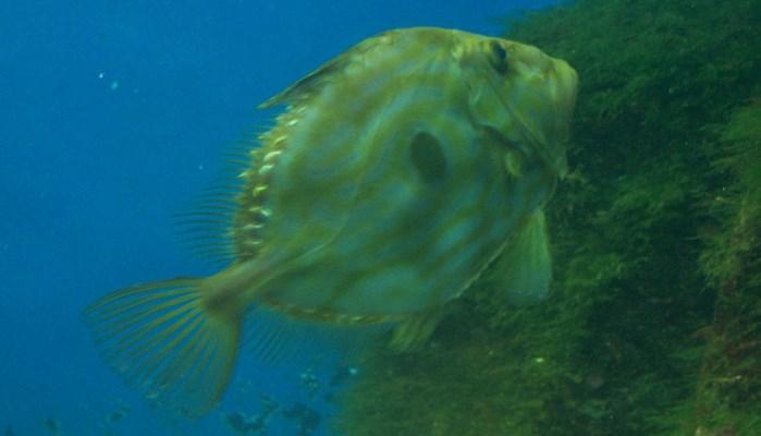 ojos de este pez