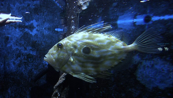 Curiosidades del pez San Pedro