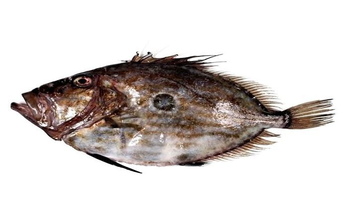 Tipos de peces San Pedro