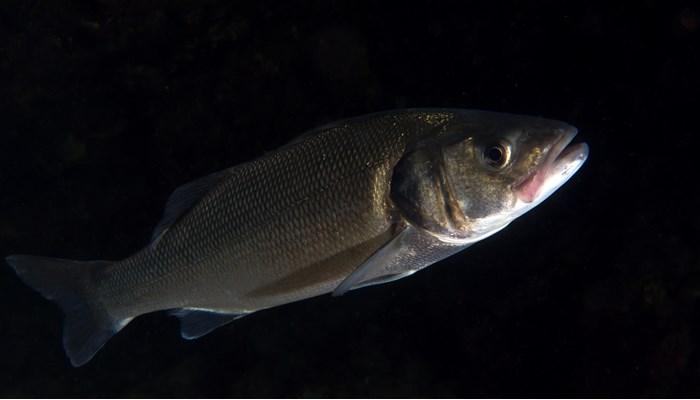 Reproducción del pez lubina