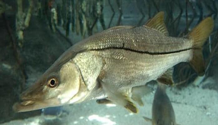 Curiosidades del pez lubina
