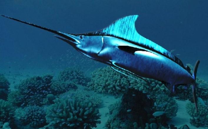 pez espada migracion