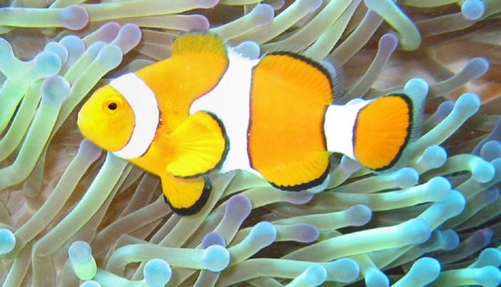 caracteristicas del pez payaso